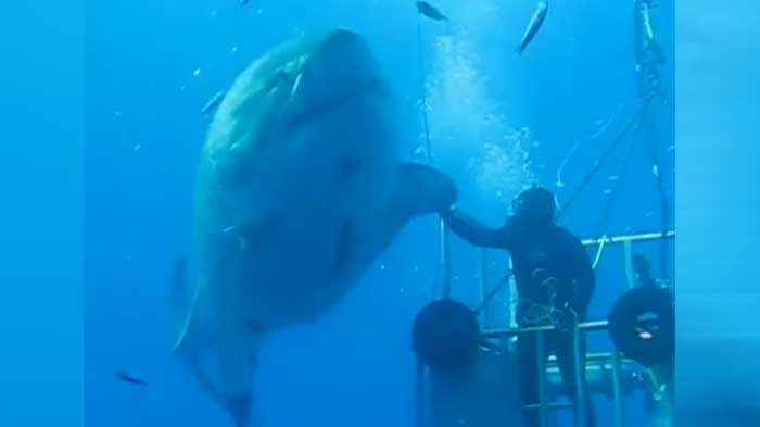 The biggest great white shark ever seen we re gonna need a bigger