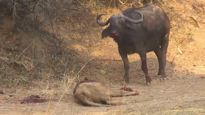 lion-versus-buffalo.jpg